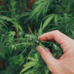 Pourquoi la marijuana donne faim